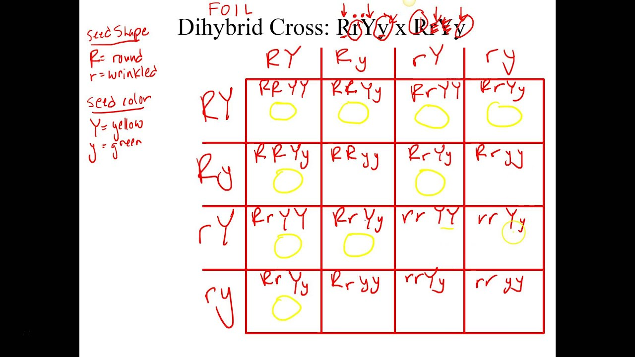 Dihybrid Cross Example - YouTube