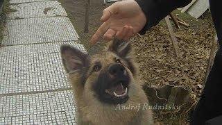 Ремонт собаки :) Если у собаки не стоят уши...(Ремонт собаки :) Если у собаки не стоят уши... Мой второй..., 2013-11-21T10:28:42.000Z)