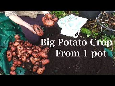 Allotment Diary : My Biggest Single Container Pot Grown Potato Harvest Yet.