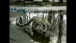 Кошка ашера гуляет по луже / Ashera cat walks through a puddle