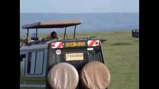 Lion attacks buffalo (Masai Mara, Kenya) (Safari Videos)