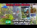 Murai Batu Medan Buat Pancingan Yang Macet Auto Nyaut  Mp3 - Mp4 Download