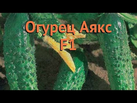 Огурец обыкновенный Аякс F1 (ayaks f1) 🌿 огурец Аякс F1 обзор: как сажать семена огурца Аякс F1 | обыкновенный | огурец | обзор | аякс | ayaks | ог | f1