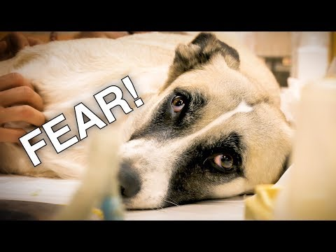 FEAR ! HERO DOG IS BACK TO THE HOSPITAL !