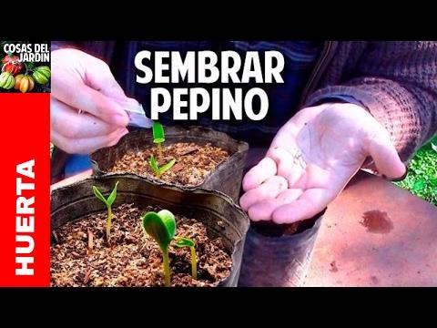 Como sembrar pepino en casa - Paso a Paso Parte 1 @cosasdeljardin