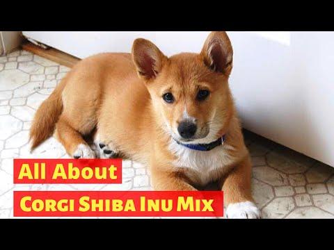 All About Corgi Shiba Inu Mix | Is it a Desirable Breed?