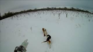 Охота на зайца Собаки на чеку А я и не в курсе