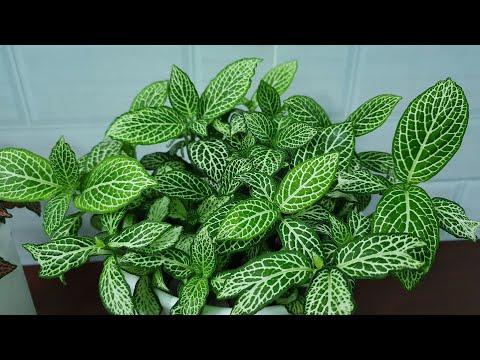 Cây cẩm nhung –cách trồng và chăm sóc –How to grow and Care for Mosaic plant (Fittoria)