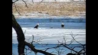 Eagles at play on the Fox River Berlin Wisconsin