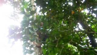 lansones picking in guyam indang cavite vidallo s farm 1