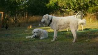 Ikasi Gardens- Chickens And Maremma Dogs