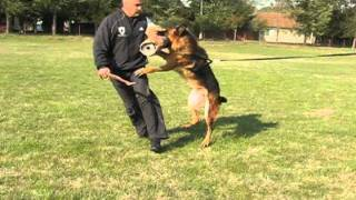German Shepherd Protection Dogs Training - Male Boss - Bite Work And Long Attack