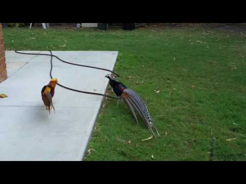 Lady Amherst & Golden pheasant cocks fighting.