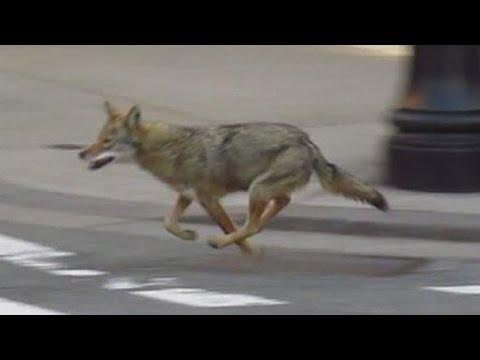 Coyotes Love New York City