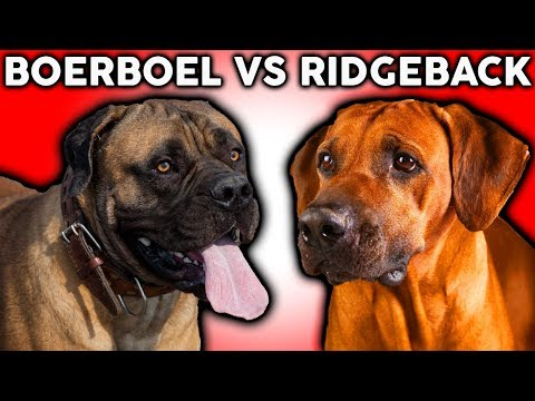 BOERBOEL VS RHODESIAN RIDGEBACK! The Best Guard Dog Breed For First Time Owners!