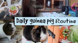 DAILY GUINEA PIG ROUTINE | Hamster HorsesandCats