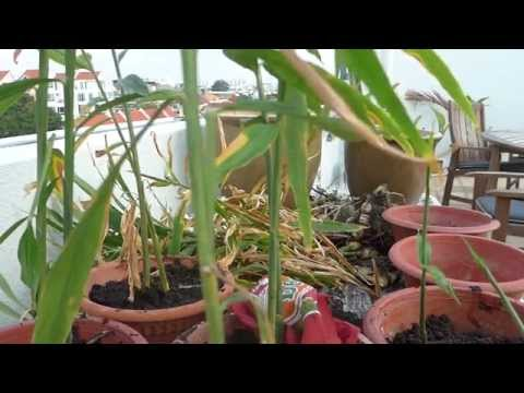 Grow Ginger in Singapore