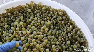 видео Белое домашнее вино