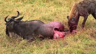Hyena Eats Wildebeest Alive Brutal Killing Full Movie..Kenya Africa