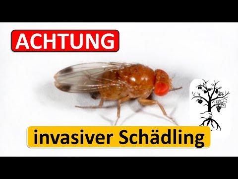 Kirschessigfliege - Drosophila suzukii erkennen, überwachen und bekämpfen