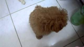 三個月大的紅貴賓狗狗DoBe會坐下跟趴下了 ♥ 好棒!!
