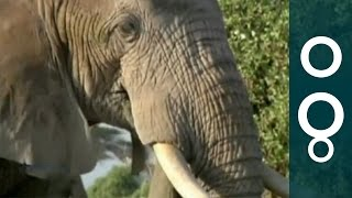 Elephants Smell Better - Science