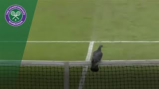 Wimbledon 2017 Qualifying disrupted by pigeon thumbnail