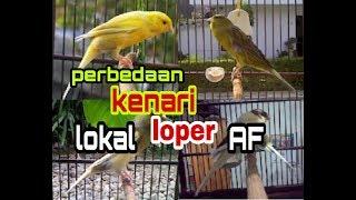 INILAH perbedaan antara KENARI lokal , loper , AF