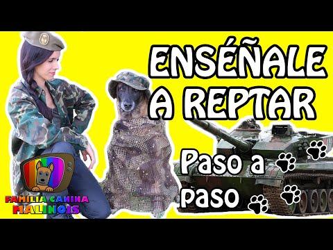 CÓMO ENSEÑAR A Mi PERRO A REPTAR/ARRASTRARSE (EL RAMBO). Trucos Para Perros   Adiestramiento Canino