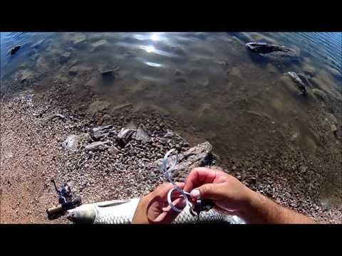 Fishing in Arizona at papago park for big carp