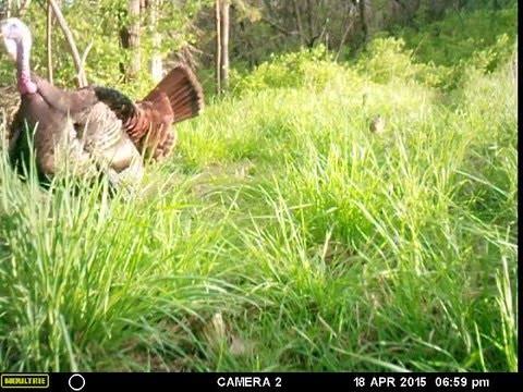 Big tom turkey struts in front of trail camera