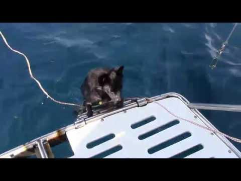 Sailing Schipperkes - Do Schipperkes like to swim?