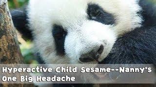 Hyperactive Child Sesame——Nanny's One Big Headache | iPanda
