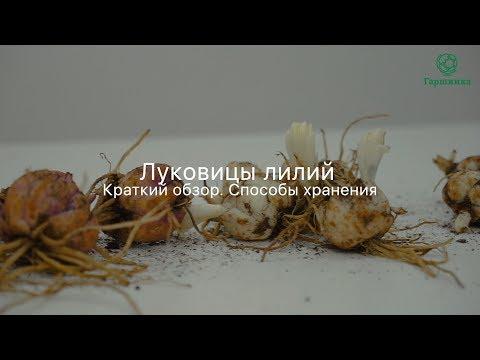 Вопрос: Сколько могут храниться луковицы горшечных лилий в холодильнике?