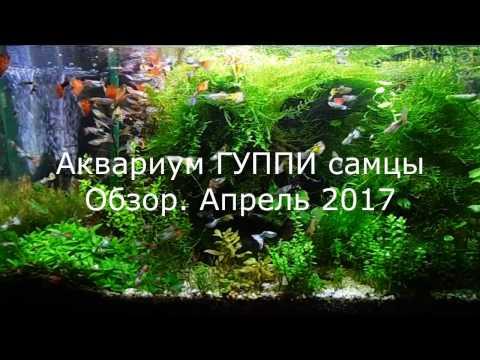 Аквариум ГУППИ самцы, КРЕВЕТКИ АМАНО польза. Обзор май 2017
