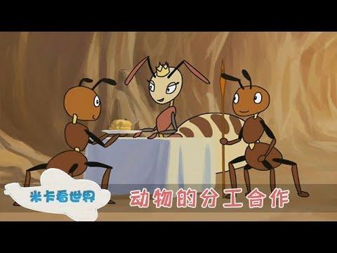 【动物的分工合作】 蚂蚁的力量这么惊人,看看蚂蚁的团结精神  米卡看世界 0-6岁