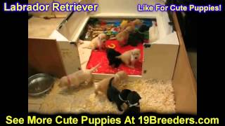 Labrador Retriever, Puppies, For, Sale, In, Duluth, Minnesota, County, Mn, Hennepin, Dakota, Washing