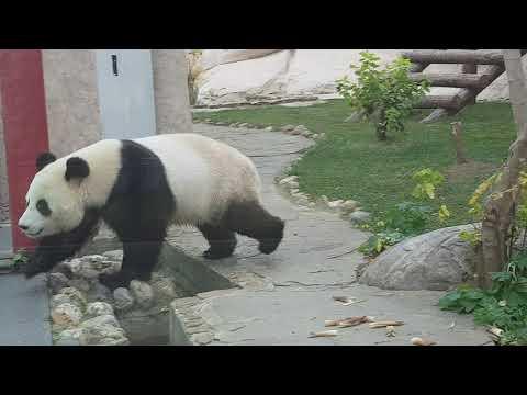 A running giant panda