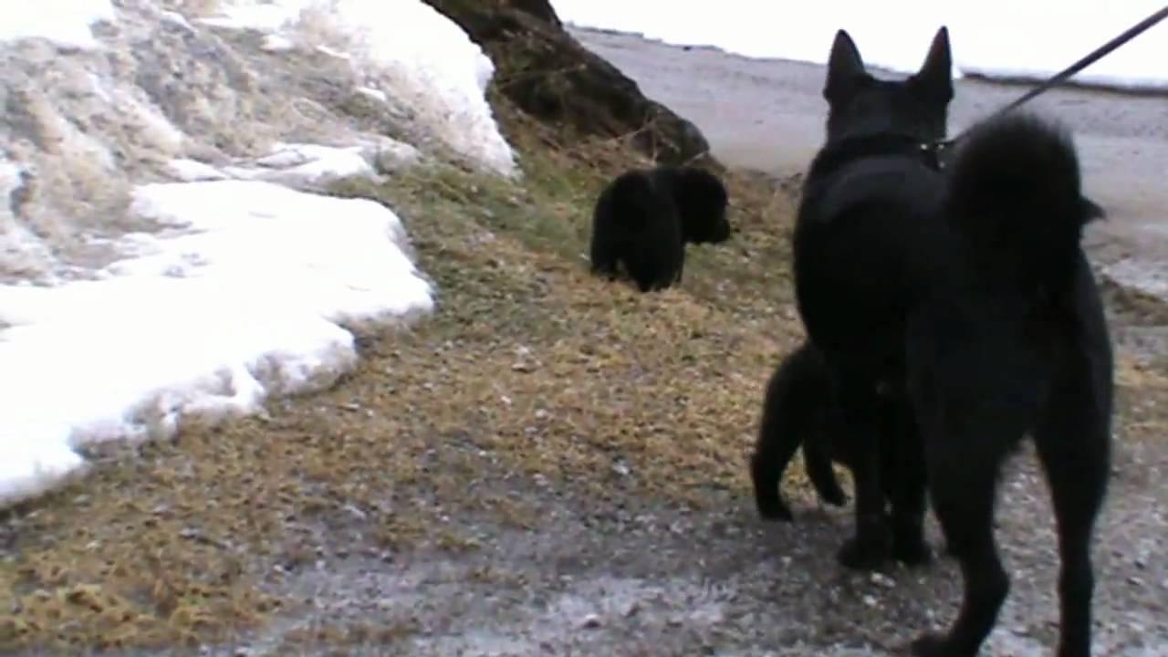 Stilig Norsk elghund svart. valpar 5 veckor - YouTube HO-92