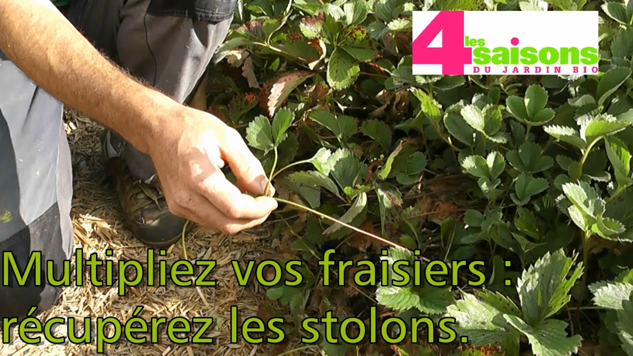 les 4 saisons du jardin bio multipliez vos fraisiers r cup rez les stolons youtube. Black Bedroom Furniture Sets. Home Design Ideas