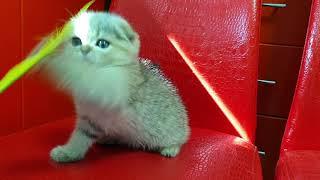 Шотландские котята 89038745821 Вязка с Чемпионом