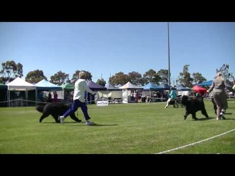 Dog show Newfoundland in Melbourne on December 3rd 2016 G