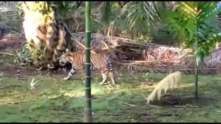 Harimau Sumatera Liar berkeliaran di Kebun Warga di Riau