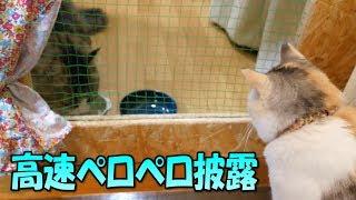 三毛猫姉さんに高速ペロペロを披露するボス猫 thumbnail
