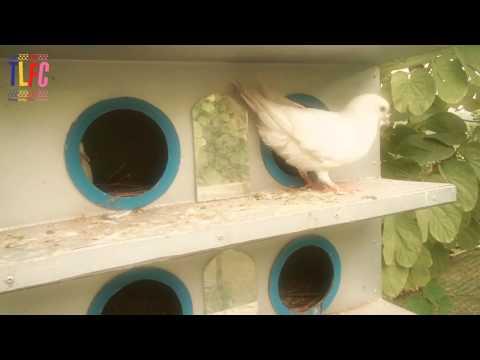 Lời nhắn nhủ từ chim bồ câu TLU