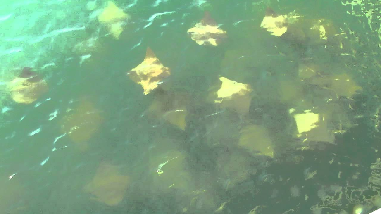 A school of stingrays off sanibel island lighthouse fish for Sanibel fishing pier