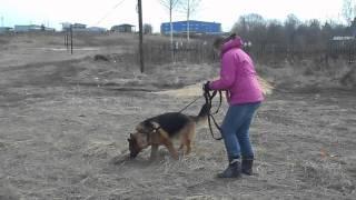 Митяй. Конец марта 2015. Собака в добрые руки. Овчарка