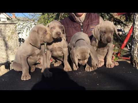 Weimaraner male puppies for sale