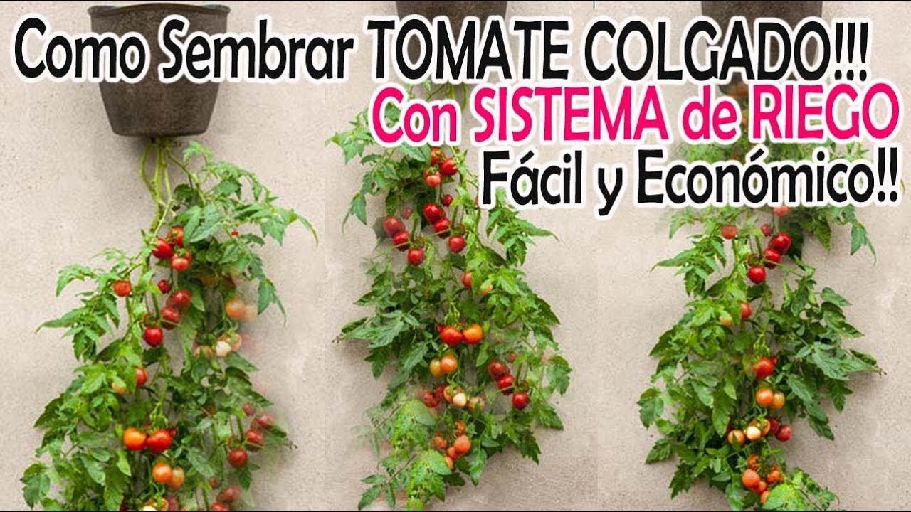 Tomate Colgado Con Sistema De Riego Fácil Y Económico