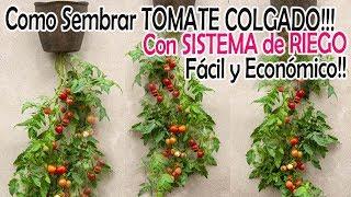 TOMATE COLGADO con SISTEMA de RIEGO Fácil y Económico!!!!